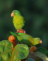 Pair of orange-chinned parakeets