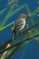 Female Yellow-rumped Warbler, Florida