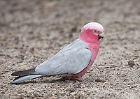 Galahs are fairly common in Australia.  I photographed this one on Rottnest Island.