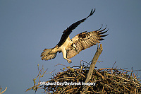 00783-01307 Osprey (Pandion haliaetus) female landing at nest, FL