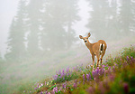 Black-tailed or mule deer, Olympic National Park, Washington, USA