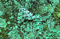 Gevlekte groenuil (Moma alpium) tussen korstmos