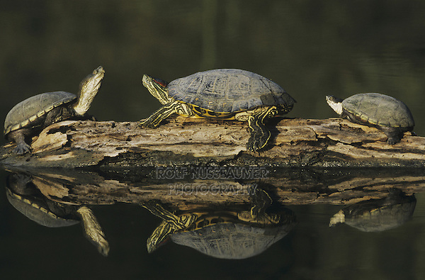 Red-eared Slider (Trachemys scripta elegans) and Yellow Mud Turtle (Kinosternon flavescens), sunning on log, Starr County, Rio Grande Valley, Texas, USA