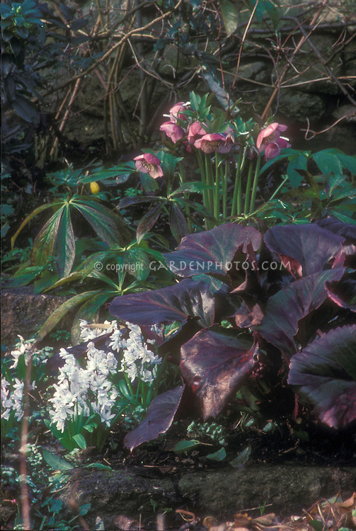 Helleborus hybridus spotted, pink blooms, with Bergenia Bressingham Ruby foliage & Scilla mischtschenkoana bulbs in flower combination