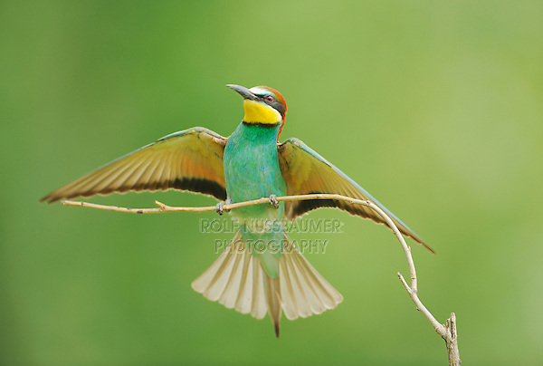 European Bee-eater (Merops apiaster), adult landing, Hungary, Europe