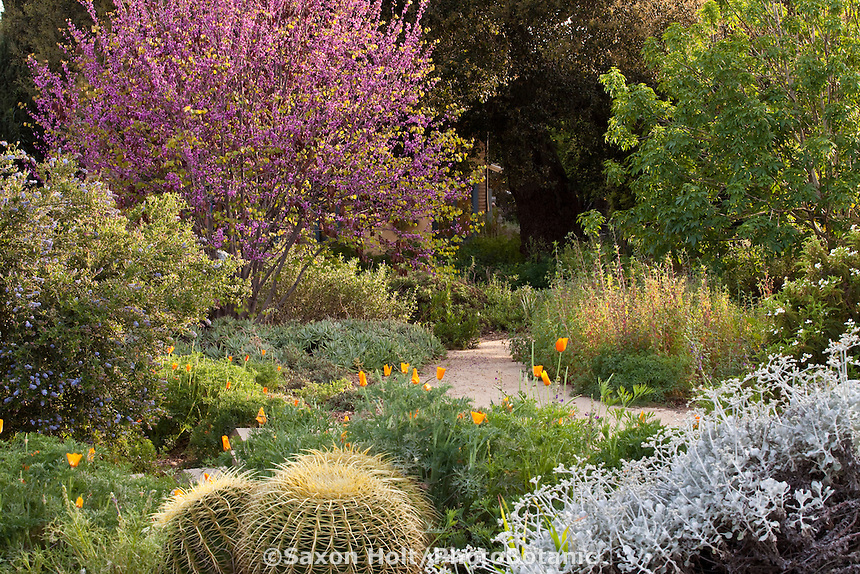Path running through Southern California, drought tolerant mixed border native plant garden with Redbud tree, poppies, ceanothus, golden barrel cactus and buck-eye