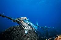 scalloped hammerhead shark, Sphyrna lewini, caught in shark net illegally set in Galapagos Marine Reserve, Wolf or Wenman Island, Galapagos Islands, Ecuador, South America ( Eastern Pacific Ocean )