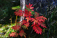 Simple yet elegant red leaves of a Mountain Ash in the Flathead National Forest, Montana.