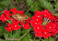 0808-0911  Spring Peeper Frog Climbing on Red Flowers, Pseudacris crucifer (formerly: Hyla crucifer)  © David Kuhn/Dwight Kuhn Photography