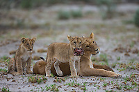 Lion cubs playi fighting over a warthog snout and jaw.