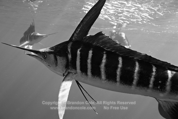 qf0745-D. Striped Marlin (Tetrapturus audax), feeding on Pacific Sardines (Sardinops sagax). Baja, Mexico, Pacific Ocean..Photo Copyright © Brandon Cole. All rights reserved worldwide.  www.brandoncole.com..This photo is NOT free. It is NOT in the public domain. This photo is a Copyrighted Work, registered with the US Copyright Office. .Rights to reproduction of photograph granted only upon payment in full of agreed upon licensing fee. Any use of this photo prior to such payment is an infringement of copyright and punishable by fines up to  $150,000 USD...Brandon Cole.MARINE PHOTOGRAPHY.http://www.brandoncole.com.email: brandoncole@msn.com.4917 N. Boeing Rd..Spokane Valley, WA  99206  USA.tel: 509-535-3489