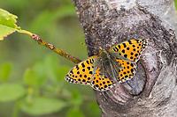Kleiner-Perlmuttfalter, Kleiner Perlmuttfalter, Kleiner Perlmutterfalter, Issoria lathonia, Argynnis lathonia, Queen of Spain fritillary, Le Petit nacré