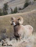 Bighorn sheep ram in flehmen response during the rut. Park County, Montana.