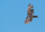 Turkey vulture, Cathartes aura, flying over the Pacific coast at Mendocino, California