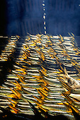 Gambia. Fish with golden tails being smoked on the beach in a smokehouse near the border with Senegal.