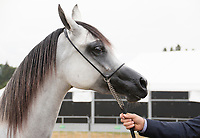 Headshot of Arabian Horse. Showing handlers arm, holding the lead.