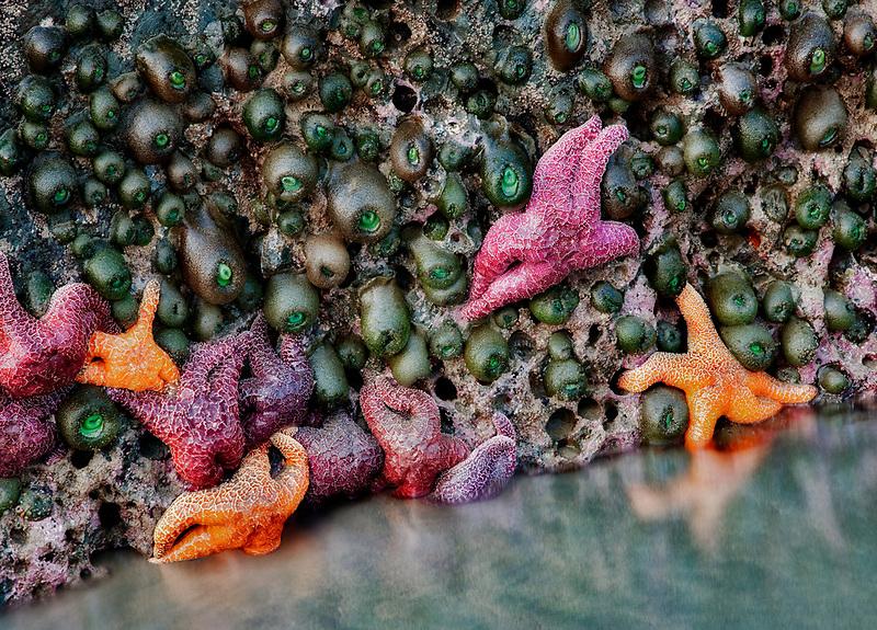 Star fish and sea anemones at low tide. Bandon beach, Oregon