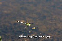 06361-007.04 Common Green Darner (Anax junius) male in flight over wetland, Marion Co. IL