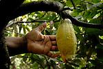 Mazorca de cacao.  Chuao. Estado Aragua. Venezuela. © Juan Naharro
