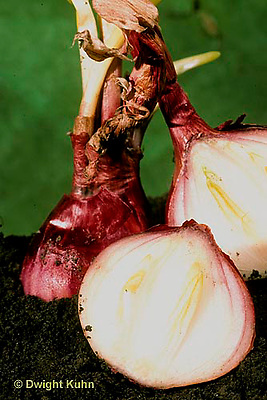 HS16-024a  Onion - red onions - Burgermaster variety