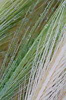 Dew drops on grass, San Marino.