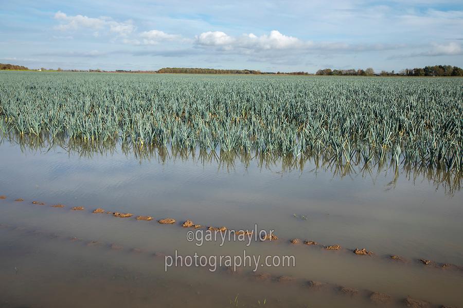 Leeks flooded following heavy rainfall - Lincolnshire, November