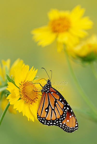 Queen Butterfly (Danaus gilippus), adult feeding on Huisache Daisy (Amblyolepis setigera), Laredo, Webb County, Texas, USA