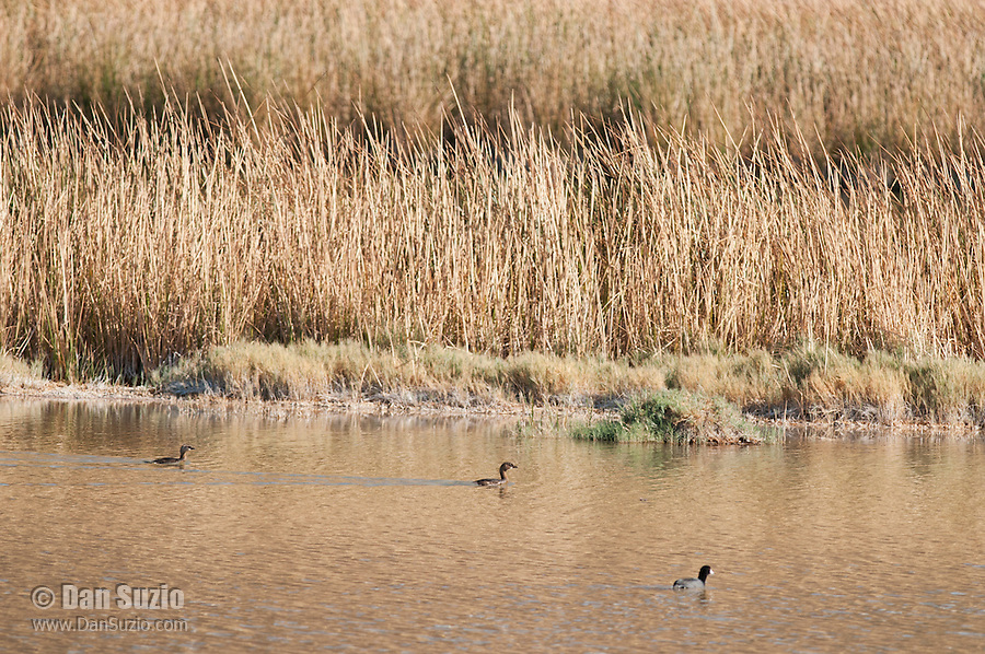 American coot, Fulica americana, and pied-billed grebes, Podilymbus podiceps, at Saratoga Spring, Death Valley National Park, California
