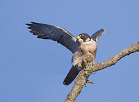 Adult peregrine falcon about to take flight from a rustic snag
