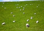 Sheep grazing in chalk downland fields, Wiltshire, England, UK