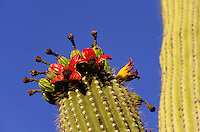 Saquaro Organ Pipe cactus flower in blom against clear blue sky foto, reise, photograph, image, images, photo,<br />