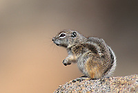 679513003 White-tailed Antelope Ground Squirrel Ammospermophilus leucurus WILD Sitting on Granite Rock Joshua Tree National Monument, California