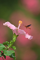 Red Paper Wasp (Polistes carolina), adult in flight on pink hibiscus flower, Hill Country, Central Texas, USA