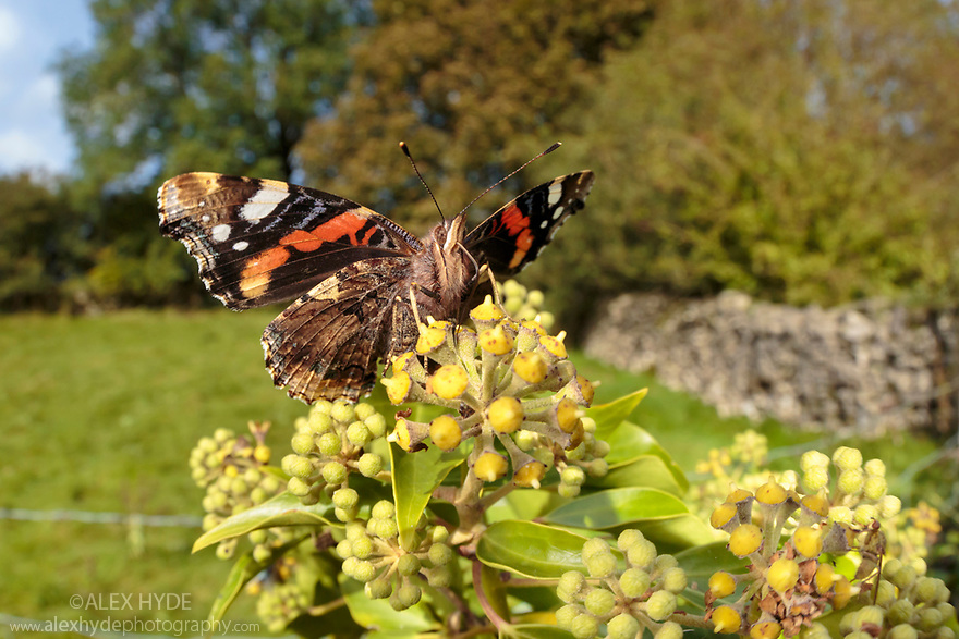 Red Admiral {Vanessa atalanta} feeding on Ivy {Hedera helix} Peak District National Park, Derbyshire, UK. October.