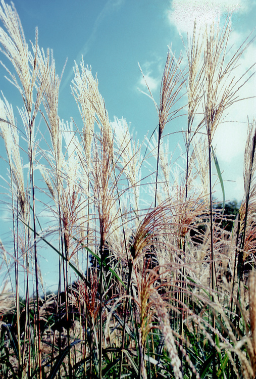 Miscanthus sinensis 'Silver Feather' = 'Silberfeder' maiden grass in bloom
