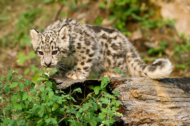 Snow Leopard kitten watching intently while standing on an old log - CA