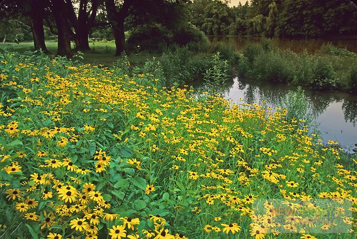 Black-eyed Susans, wildlflowers at Strawbridge Lake, Moorestown, New Jersey