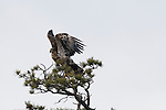 juvenile bald eagle, Haliaeetus leucocephalus, bird, wildlife, symbolic, pine tree, Rocky Mountains, Colorado