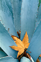 Arizona sycamore leaf in agave<br />