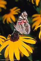 American Painted Lady Butterfly, Vanessa virginiensis