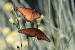 Queen butterflies on desert milkweed