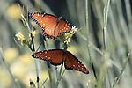 Photo Magnet Edit:  Queen Butterfly