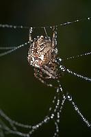 Garten-Kreuzspinne, Gemeine Kreuzspinne, Gartenkreuzspinne, Araneus diadematus, cross orbweaver, European garden spider, cross spider