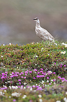Rock ptarmigan in wildflowers, Utukok Uplands, National Petroleum Reserve Alaska, Arctic, Alaska.