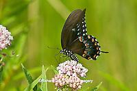 03029-01315 Spicebush Swallowtail butterfly (Papilio troilus) on Swamp Milkweed (Asclepias incarnata) Marion Co., IL