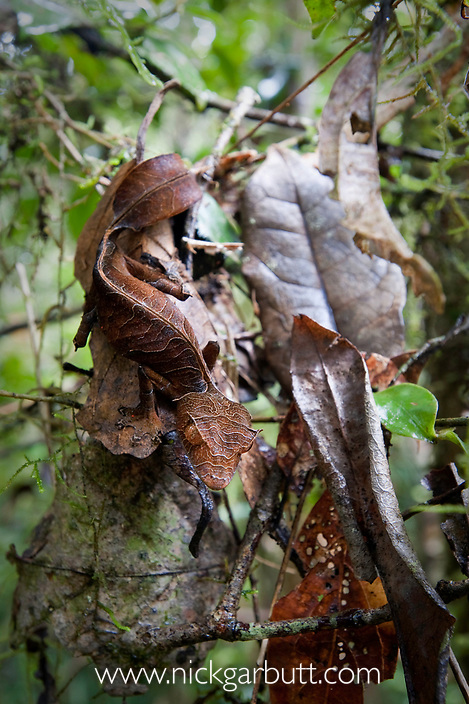 Satanic Leaf-tailed Gecko (Uroplatus phantasticus) camouflaged on dead leaves. From rainforest understory in Ranomafana National Park, Madagascar.