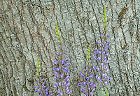 Broadleaf Lupine flowers and Live Oak bark, Oregon
