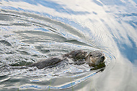 Northern River Otter (Lontra canadensis) mom swims with pup riding on her back.  Western U.S., summer..