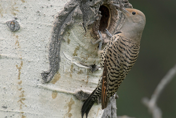 Female Northern Flicker or Red-shafted Flicker (Colaptes auratus) at nest cavity in aspen tree, Western U.S., June.