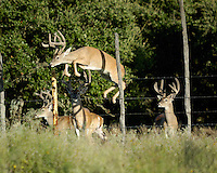 Whitetail Buck jumps a fence with three others watching.